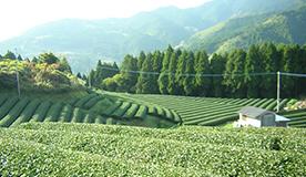 九州産オーガニック八女茶使用