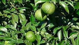 国産有機柚子を丸ごと使用
