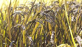 自社農場産の有機古代米