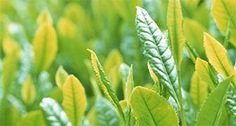 緑茶エキス