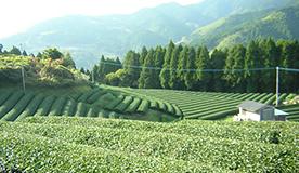 緑茶をたっぷり使用