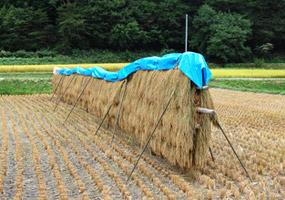 刈り取った稲も自然乾燥中