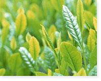 無農薬栽培の八女茶 イメージ