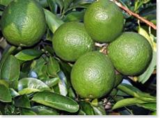 国産素材 大分県有機栽培カボス