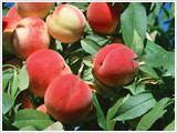 桃の葉エキス