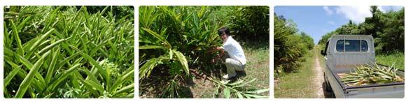 沖縄 月桃農園 収穫の様子1