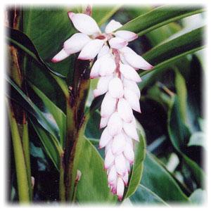 月桃は古くから沖縄地方で使われ、様々な用途に用いられてきました