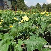 無農薬栽培へちま水 へちま畑