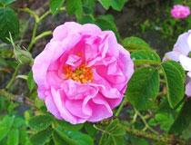 バラの中でも最高の品質のダマクスローズ種